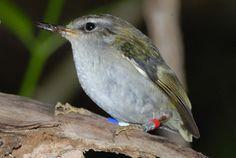 Rifleman - Endemic Native NZ Bird