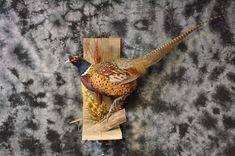 Pheasant wall mount. Legacy Taxidermy Rigby, ID.
