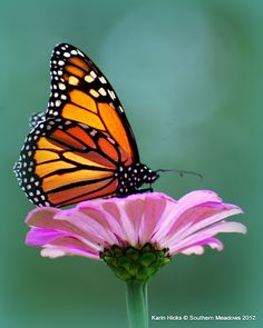 jdfgjdhhfuhghhdhf - 0 results for butterfly Butterfly On Flower, Butterfly Pictures, Butterfly Painting, Butterfly Wallpaper, Monarch Butterfly, Flower Art, Beautiful Butterflies, Beautiful Flowers, Easy Canvas Art