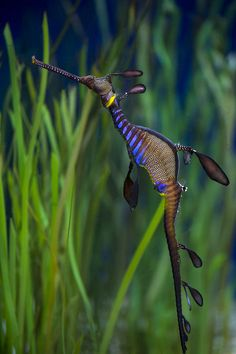 sea horses for sale | Dragon Seahorse Photograph - Dragon Different a lot....