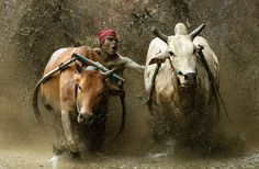 """Pacu Jawi Sumatra"" by Marcellian Tan, via 500px."