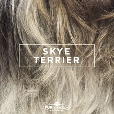 #Dog-Inspired #Design: We think the best, most #beautiful #coats belong to our four-legged family members. #SkyeTerrier