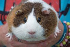 O sooo cute!!!! Guinea pigs RULE!!!!