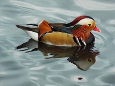 Mandarin (Drake) at the London Wetland Centre, London, England - November 2013