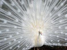 Gorgeous Albino Peacock