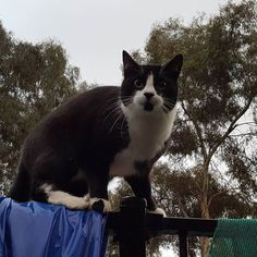 Meet Murphy the cheeky cat :)  #murphythecat #cataday #catsofwagga #wagga #suzspetservices