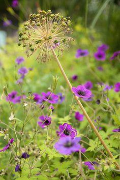 Allium and Geranium Ann Folkard