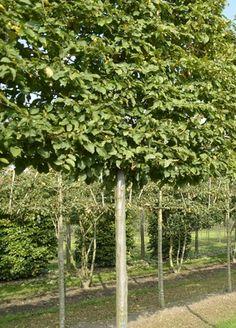 Pleached Trees & Instant Screening — Crown Topiary, Topiary Trees, UK, London Pleached Trees & I Hedge Trees, Topiary Trees, Garden Gazebo, Garden Fencing, Fence, Landscape Design, Garden Design, Evergreen Bush, Garden Care