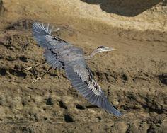 A Blue Heron Flying