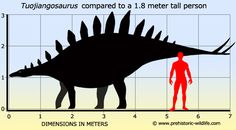 Easily the best preserved of the Chinese stegosaurs, Tuojiangosaurus was fairly large for a stegosaur, though certainly not 'the' largest.