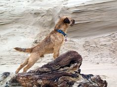 Border Terrier Eddie at the beach of Texel