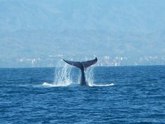 """""""Whale watching is a popular activity at the Marietas Islands off the coast of the Bahia de Banderas..."""" #iheartPuertoVallarta"""