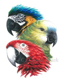 Original Art - Parrot Painting, Birds, Signed by Wildlife Artist Chuck Black Parrot Drawing, Parrot Painting, Colorful Parrots, Colorful Birds, Poses Anime, Parrot Tattoo, African Grey Parrot, Colorful Drawings, Wildlife Art