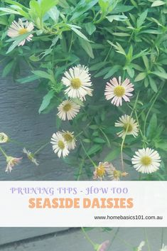 I love my little seaside daisies (Erigeron karvinskianus).  The pretty little pink and white flowers are so sweet, and they're super hardy which is a bonus.  The poor things have to withstand soccer balls, kids feet and a crazy dog running through them