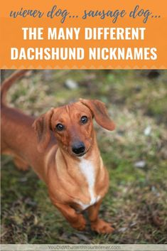 How many different nicknames do you think the Dachshund breed has? Dachshund Facts, Dachshund Breed, Funny Dachshund, Dachshund Love, Daschund, Short Dog Quotes, Dachshund Personality, Cute Dog Photos, Best Dog Breeds