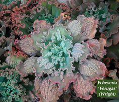 Bon Echeverias, The Loveliest Of Succulents | Succulents And Succulent Garden  Design | Debra Lee Baldwin