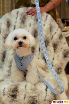 Seekor anjing Maltese memakai baju yang dihiasi batu kristal safir seharga Rp 22 juta saat di acara Taipei Pet Show 2012 di Nangang Exhibition Hall, Taipei, Senin (9/7).