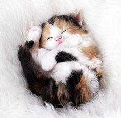 Calico Kitten (my 2 girls are calico, when they we kittens they would sleep on Ny back -jess)