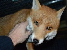 Pudding the friendly rescue fox will spend her holiday cozied up at the National Fox Welfare Society. She's too friendly to be released back in the wild, so she'll live out her happy days there with her forever family. | 19 Rescue Animals Who Are Going Home For The Holidays