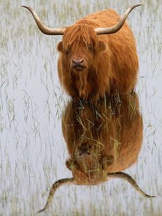 Highland cow (mutated creature inspiration)