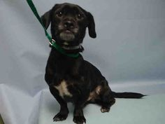 SAFE 9-22-2015 --- Brooklyn Center ACE – A1051589  MALE, BLACK / WHITE, SHIH TZU / DACHSHUND, 6 yrs OWNER SUR – EVALUATE, NO HOLD Reason PERS PROB Intake condition EXAM REQ Intake Date 09/15/2015
