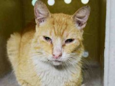 """MONTANA - A1087104 - - Manhattan   ***TO BE DESTROYED 08/31/16*** SECOND CHANCE FOR MONTANA!! …..SAD & SWEET CREAMSICLE GUY IS ONLY 6 and 1/2 POUNDS & HAS NOW TESTED FELV+! And the ACC finally took the time to give him a behavior rating and it is A for AVERAGE (but we could have told you that!) MONTANA is a sweetheart who head butts and purrs and even the stingy ACC says he is """"sweet and friendly""""…FELV does not have to be a death sentence&#"""