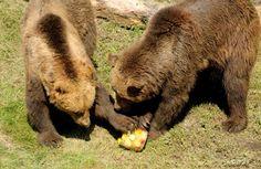 Na strome v centre Starého Smokovca je medvedica s dvomi medvieďatami - Regióny - TERAZ.sk