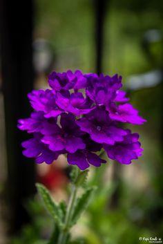 Purple beauty © Popi Kmb