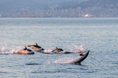 The Golden Boy - happy striped dolphins family jumping outside the sea at sunset