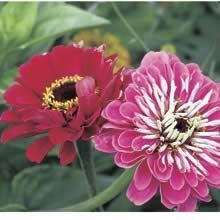 Zinnias- beneficial to sow with sunflowers