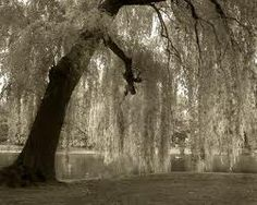 under weeping willow