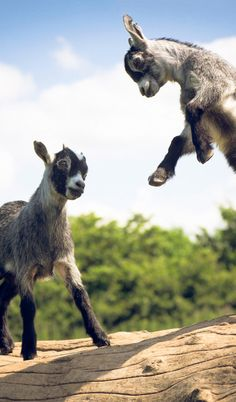 Baby pygmy goat jumping - photo#8
