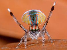 La danza iridiscente de la araña pavorreal saltarina