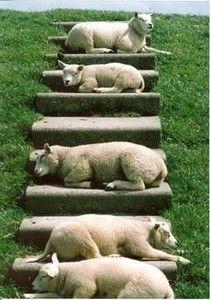 ( - p.mc.n.) Schafe auf der Insel Texel sonnen sich auf den Deichstufen