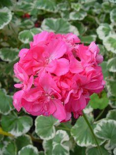 Geranium 'Mrs. Parker' Pelargonium
