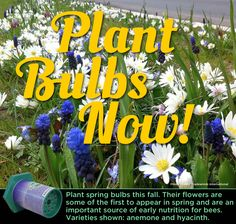 Fall is the time to get some bulbs in the ground. Think ahead... the bees will need these early flowers in the spring.