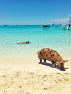 Travel & Vacation in the Bahamas Need A Vacation, Vacation Trips, Pig Beach Bahamas, Beach Wallpaper, Iphone Wallpaper, And So The Adventure Begins, Wonderful Places, Beautiful Places, Places To Visit