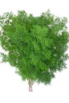 Asparagus macowanii - Ming Fern