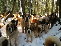 A sea of Saint Bernards - I am in love! But I can't even begin to imagine the amount of slobber!