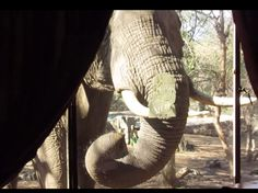 Elephant knocks on window at Lodge - Kruger National Park Elephants Playing, Kruger National Park, Safari, Photo Galleries, Wildlife, African, Knock Knock, World, Plays