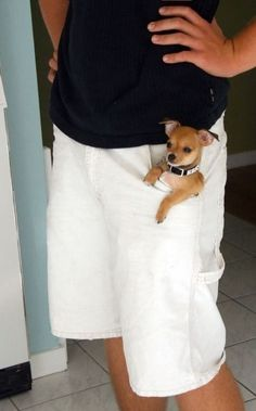 Pocket Chihuahua..