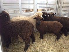 Romney Sheep, Homestead Farm, Rats, Pony, Stones, Birds, Animals, Sheep, Pony Horse