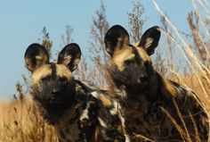 10 best places to see wild dogs in South Africa