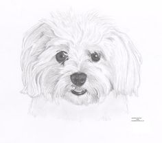 MALTESE dog Limited Edition art drawing print by ArcadiaPortraits
