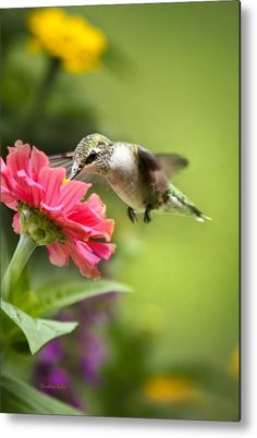 Botanical #Hummingbird #Metal Print by Christina Rollo.  All metal prints are professionally printed, packaged, and shipped within 3 - 4 business days and delivered ready-to-hang on your wall. Choose from multiple sizes and mounting options.
