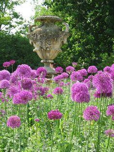 Allium bed at Oxford Botanical