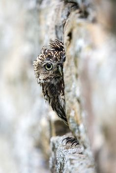 Little owl (Athene noctua) perched in stone barn, captive, United Kingdom, Europe - 743-1306