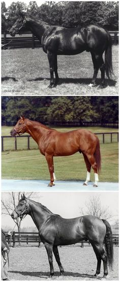 Top: Bold Ruler, the sire. Middle: Secetariat. Bottom: Somethingroyal, the dam.