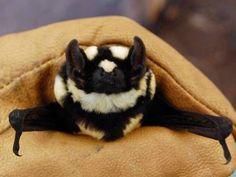 """""""Morcego-Panda"""", novo gênero da espécie descoberto no Sudão do Sul"""