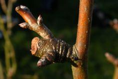 Novembre est surement le mois de prédilection pour la taille de certains fruitiers. En effet, les arbres entrent en dormance, la sève redescend, et les premiers froids ne sont pas encore tout à fait installés. Ainsi les arbres supporteront mieux les tailles sévères. Parmi les fruitiers que nous pourrons tailler en Novembre nous citerons : abricotier, amandier, cerisier, châtaignier, cognassier, figuier, framboisier, kaki, néflier, noisetier, noyer, poirier, pommier, prunier…